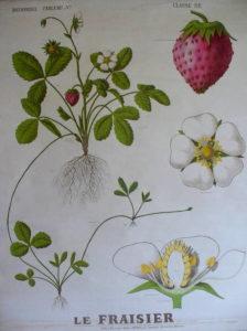Le fraisier - jardin thérapeutique
