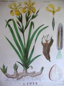 le jardin thérapeutique - planche - iris