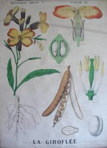 le jardin de soin - planche - la giroflée
