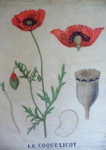 Le jardin thérapeutique - planche - Le coquelicot