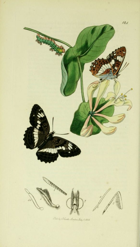 jardins activites thérapeutiques - limenitis camilla