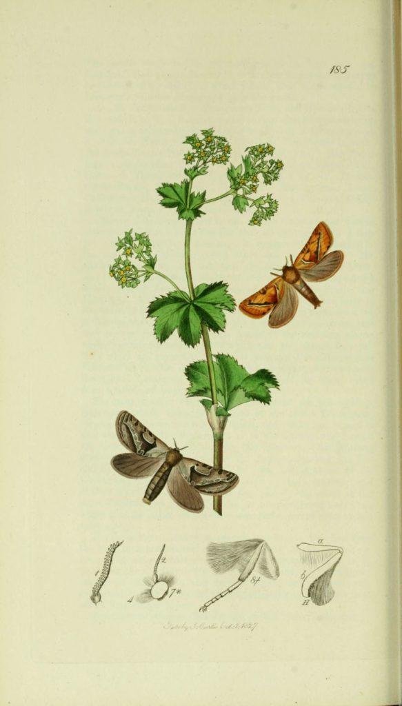 jardins participatifs - hepialus sylvinus
